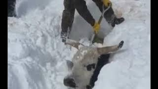 Ranchers Rescue Cows Buried Under FEET of Snow In South Dakota