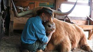 2 Bullen und ein Cowboy