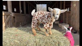 Goat Baby Pajama Rama