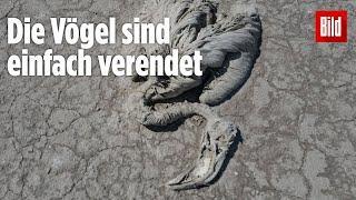 Tausende Flamingos qualvoll gestorben - Salzseee Türkei