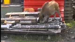 Von tierlieben Bauern, einem Hund und einem Wildschwein ....