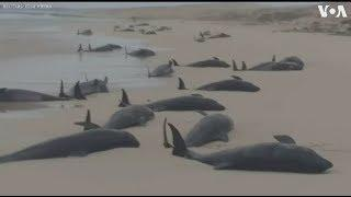 What Is Going On? Massive Amounts of Different Whale Species Washing Up On Beaches