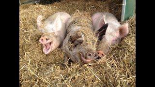 Wenn Leute ihr Unrecht nicht einsehen wollen - Rettungsgeschichte Schweine Jan, Laura & Stefan vom H