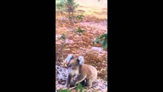 Sowas schönes .... Koalababy kommt auf Mann zu