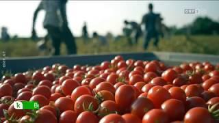 Tomaten aus China ORF konkret