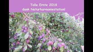 Gegen Chemtrails und negative Energien ! Tolle Ernte 2018 dank Naturharmoniestation NHS (Thema Chemt