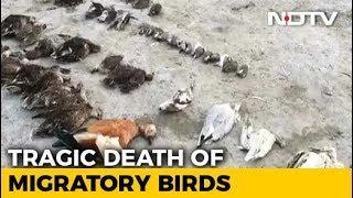 Schon wieder ist es geschehen ! Tausende Vögel fallen tot vom Himmel