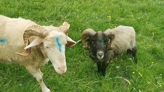 HIER ist die Welt noch in Ordnung - Unsere Schafe genießen die ersten Tage auf der Sommerweide