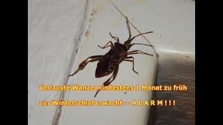 Schrumpfkopf TV / AUFWACHEN: Wanze(n) beenden ihren Winterschlaf viel zu früh — A L A R M ! ! !