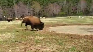 Ich liebe meine Mutter Erde - Bison freut sich des Frühlings
