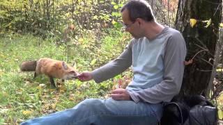 Wilder Fuchs frisst aus der hand
