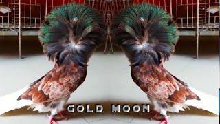 Qualzuchten - Tauben als Dekorationsartikel - es geht nur um Preisgelder