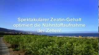 Extrem gesund !  Moringa oleifera aus dem MoringaGarden Teneriffa. Infofilm