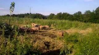 Freilandschweinehaltung - wundervoll - ein gutes Leben