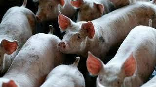 Chinese Gangs Infect Pigs With Swine Fever In Criminal Meat Scheme