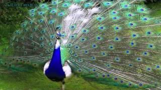 """""""Die Himmel auf der Brust, den Kosmos im Rücken"""" wundervolle Farbvielfalt beim Pfauenvogel"""
