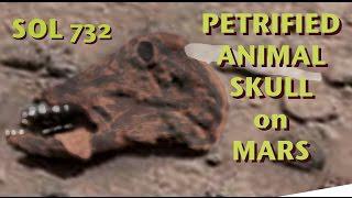 SOL 732: versteinerter Tierschädel auf dem Mars gefunden