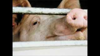 Die Würde des Schweins - Reinhard Mey