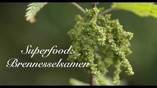 Superfood Brennnesselsamen -Viriditas Heilpflanzenvideo