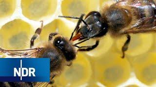 Rettung für unsere Bienen? Ein Forscher macht Hoffnung für die Zukunft | 45 Min | NDR