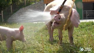 bitte teilen - Ferkelchen haben Spaß an Dusche im Sommer