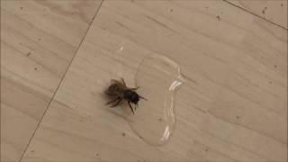 Schrumpfkopf TV / Martin von hilft junger Biene wieder auf die Flügel ... summ, summ