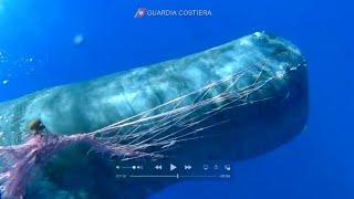 Sowas habt ihr noch nie gesehen ! Italienische Küstenwache - eingewickelte Pottwale